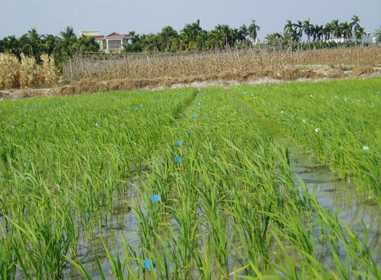 产品展示  ----group news       名称:保丰集团海南基地水稻制种田